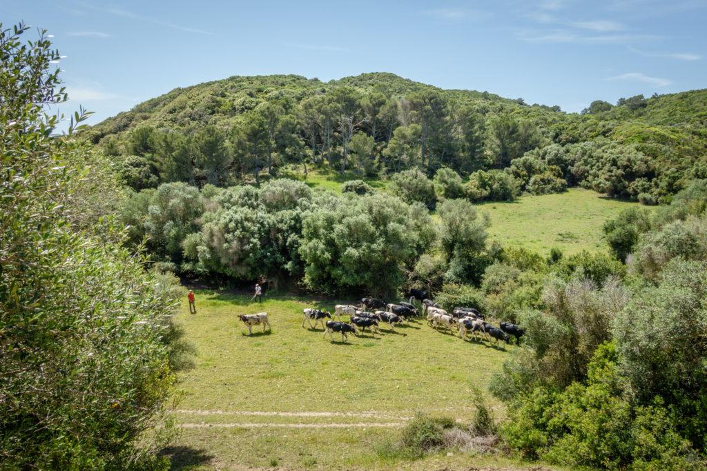 Un pagès amb les seves vaques (Foto: Camí de Cavalls 360º).