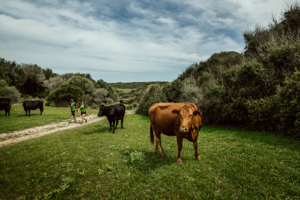 Les vaques, una presència constant als camins de Menorca (Foto: Jordi Saragossa).